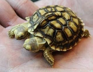conjoined-twins-turtles